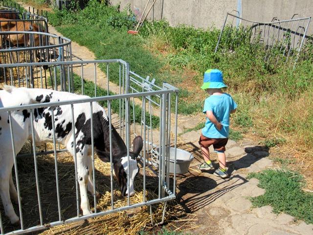 Enkelkind geht an den kleinen Rindern vorbei Mittelhammshof